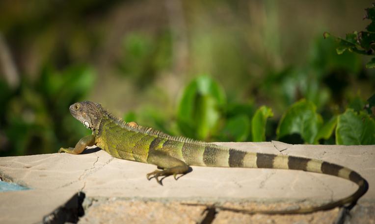 iguana-in-puerto-rico